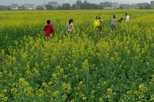 广州周边赏油菜花,花都梯面红山村油菜花、美林湖、摩天轮1天游