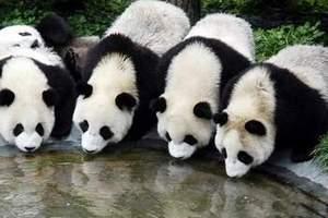 成都大熊猫基地 三星堆一日游攻略 四川哪里有大熊猫 怎么去