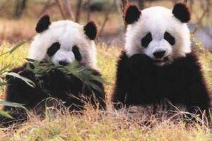 成都大熊猫野放基地+都江堰纯玩美食休闲小包团一日游 七彩之旅
