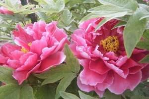 洛阳国花园牡丹园门票预订 洛阳牡丹邙山牡丹园