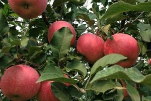 平谷京东大峡谷+京东大溶洞+公司秋季采摘苹果一日游||请点击