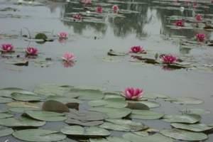 北京到白洋淀一日游、文化苑、荷花大观园摄影游