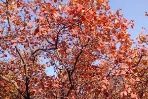 红叶谷、拉法山、松花湖纯玩2日游,蛟河红叶谷 红叶观赏地