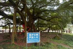 桂林大榕树
