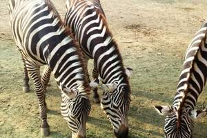 S 南京出发到常州淹城野生动物、国际森林马戏节一日游A109