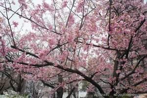 三月到日本赏樱花_郑州到日本大阪高松京都东京富士山纯玩七日游