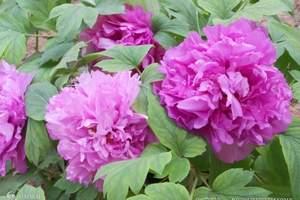 西安到洛阳、少林寺、龙门二日游|四月份赏花线路 洛阳牡丹花