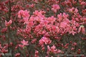 花海—百里杜鹃一日游,贵阳去看花旅游团,贵州到毕节杜鹃花旅游