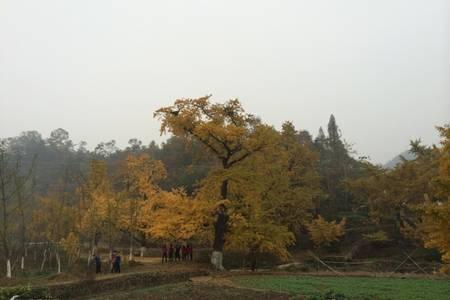 宜昌到随州中国千年银杏谷一日游