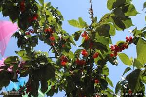 大连当地樱桃、大连海边赶海、樱桃采摘、柴锅大鱼特色一日游