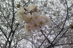 湖北浪漫樱花、相约天地---魅力江城休闲二日游