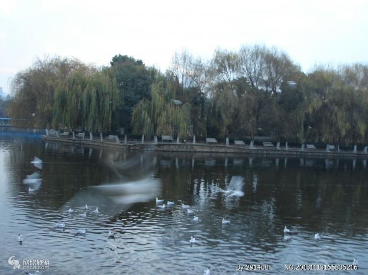 翠湖公园红嘴鸥
