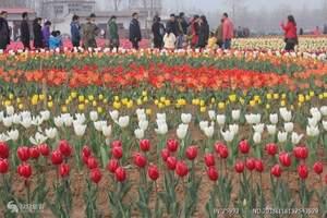 重庆周边游_涪陵林下花园郁金香节一日游_赏花游_摄影
