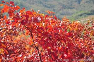 南阳出发去桐柏黄岗红叶、佛学院汽车一日游 秋季周末看红叶