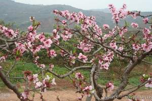 泉州旅游_泉州永春北溪赏花、魁星岩、醋厂一日游