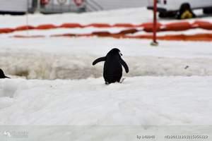 [去南极旅游安全须知] 南极半岛16天包船 企鹅宝宝的第一周