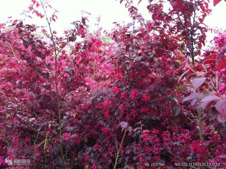 鹅岭的红色植物