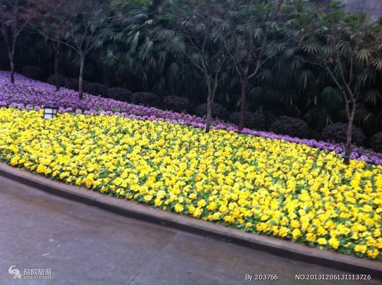 鹅岭菊花展
