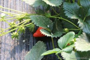 三八节旅游,青岛独立成团线路推荐,青岛草莓法海寺采摘一日游