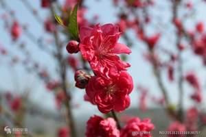 沈阳出发到丹东河口桃花园一日游|丹东河口在那桃花盛开的地方