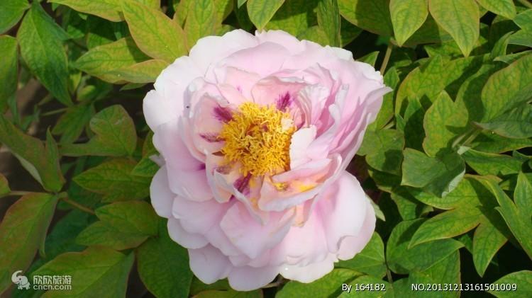 国花-洛阳牡丹