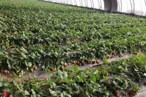 【亲子采摘游】青岛到黄岛野生动物园+红石崖草莓采摘纯玩一日游