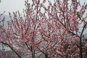 重庆到虎峰山赏桃花一日游_重庆桃花旅游有哪些_团队游