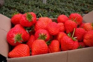石家庄哪里可以采摘草莓 草莓采摘 赵县柏林禅寺一日游