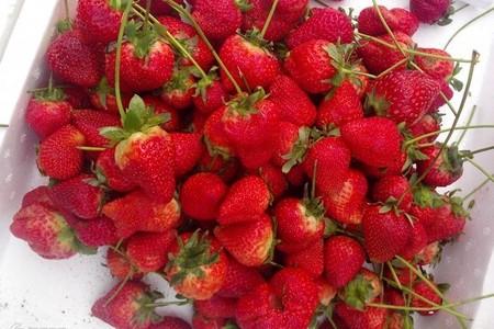 吃草莓周末一日游 红石崖草莓采摘 海底隧道 野生动物园一日游