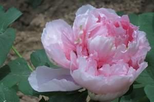 35届洛阳牡丹文化节 含龙门石窟、白马寺、牡丹园 洛阳牡丹花