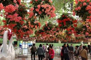 番禺百万葵园、大夫山一天游|大夫山樱花|广州出发到百万葵园