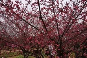 九江到南昌凤凰沟门票   赏春、樱花烂漫 茶海香汽车一日游