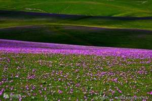 新疆伊犁那拉提草原、薰衣草、赛里木湖、巴音布鲁克五日纯玩游