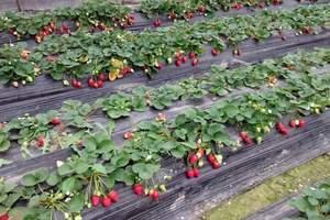 大连周末采摘哪里去_草莓采摘 蝴蝶谷 农家饭一日游