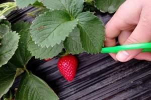 青岛去黄岛摘草莓_去珠山国家森林公园草莓采摘一日游