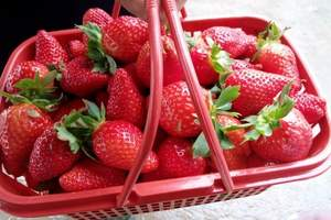 青岛去哪吃草莓/小珠山野生动物园、红石崖草莓采摘一日游