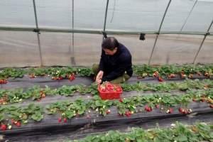 组团吃大草莓|青岛到夏庄摘大草莓 爬毛公山纯玩一日游|周末发