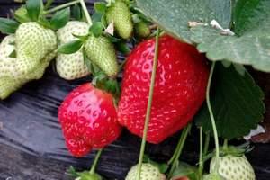 青岛即墨草莓采摘、即墨鹤山、特色农家宴纯玩一日游,组团摘草莓