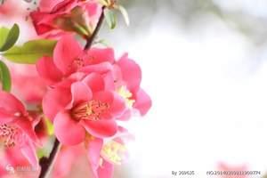 【妇女节】广元到街子古镇、海棠花基地一日游_广元周边1日游