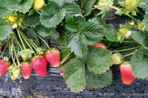 青岛草莓采摘一日游,黄岛东阿陀生态农业采摘园一日游,纯玩好团