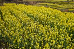 石家庄旅行社组团到周家庄采摘一日游 周家庄看油菜花、摘草莓