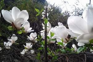 合肥到皖西金寨玉兰谷跟团游_玉兰花谷寻春一日游 春季赏花路线