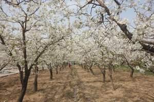 石家庄路线 摘草莓看梨花一日游