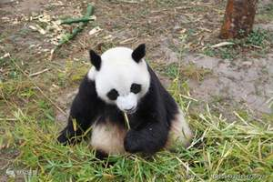 九寨沟双飞6日游|青岛到九寨黄龙都江堰+熊猫基地双飞6日游