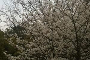 冶勒湖+九襄梨花二日游【成都看梨花,汉源梨花】