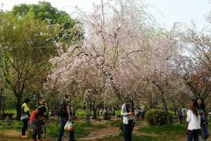 郑州到武汉赏樱花、黄鹤楼、博物馆2日|双动|郑州到武汉樱花团
