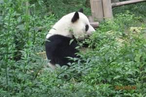 三星堆熊猫基地一日游【熊猫基地旅游功略、元旦春节旅游推荐】
