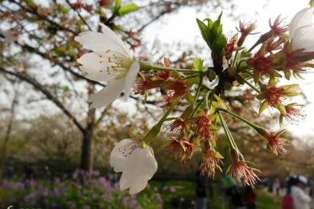 洛阳到武汉樱花纯玩两日游 武汉大学赏樱花时间 武汉户部巷小吃