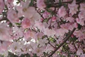 泰安出发到肥城中央桃行赏桃花一日游 肥城赏桃花旅游报价