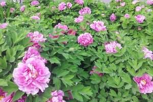 中国国花园牡丹_洛阳国花园牡丹_国花园看牡丹 送洛浦公园一日
